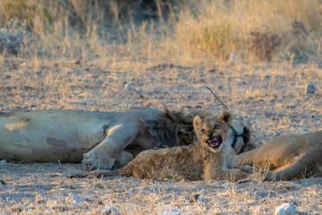 roaring lion cub