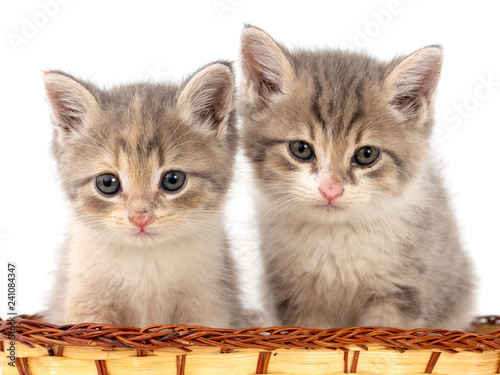 Two kittens in a basket on a white background - 241084347