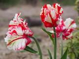 Fototapeta Tulips - Biało czerwony tulipan w przydomowym ogrodzie © kasiaczn
