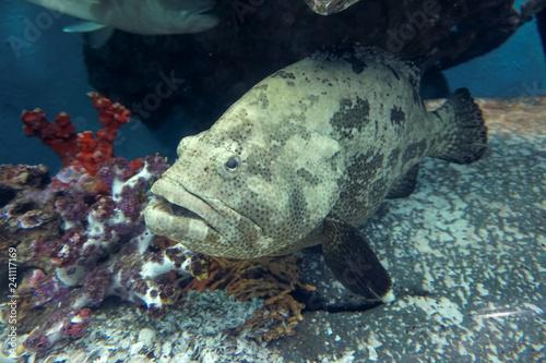 obraz lub plakat Grouper fish