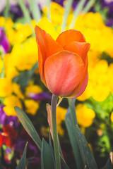 single orange tulip among yellow flowers