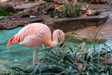 Beautiful close-up portrait of a solitary pink Flamingo in a pond