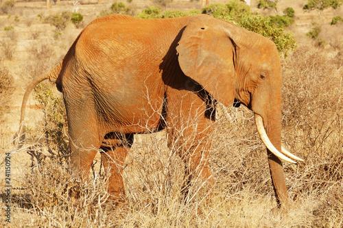 Elefant in der Serengeti