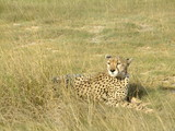 Fototapeta Sawanna - liegender Gepard © gummibärchen