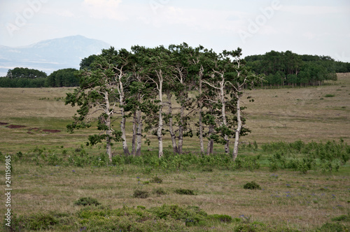 Small birch copse - 241156985