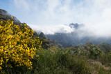 Misty mountain top, Madeira, Portugal, with wild yellow flower gorse shrub - 241164132