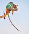 Leinwanddruck Bild - panther chameleon,furcifer pardalis ambilobe