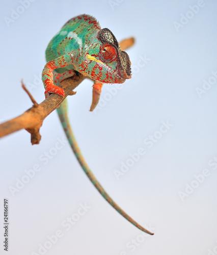 Leinwanddruck Bild panther chameleon,furcifer pardalis ambilobe