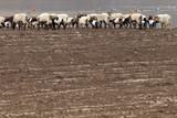 Fototapeta Sawanna - Stado owiec w Chinach © Miroslaw