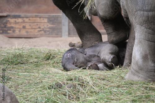 Obraz na płótnie Elefantenkalb