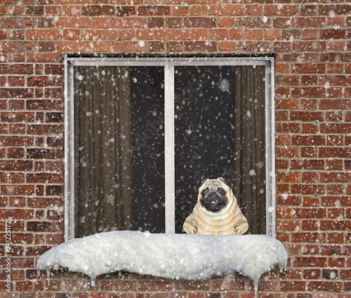 obraz lub plakat The dog sits on a windowsill and looks out the window at falling snow. It is winter.