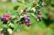 saskatoon berry delicious on deciduous shrub. natural background