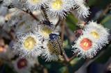 Australian native Freckled Jewel Beetle, Stigmodera macularia, feeding on nectar of Angophora hispida blossoms, Wallumarra Track, Royal National Park, NSW, Australia