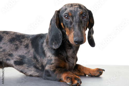 Studio shot of an adorable Dachshund lying on white background - 241244975