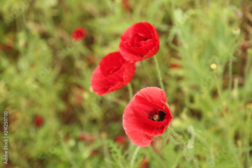 red poppies in a field - 241250700