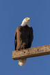 Bald eagle on pole perch