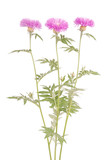 Flowers of centaurea dealbata