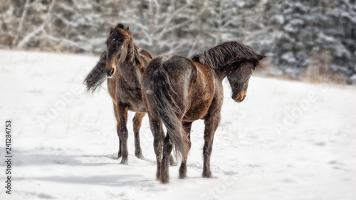 Horses: Two bay brown horses playing in a snowy field in winter