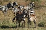Fototapeta Fototapeta z zebrą - Zebras in der Savanne der Serengeti  © hecke71