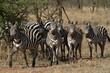 Zebras in der Savanne der Serengeti
