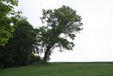 schiefer Baum - 241298900