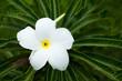 Close up of Gardenia jasminoides flowers