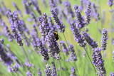Bumble Bee on lavender #1