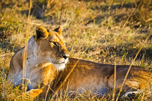 Lion in the wild in the African savannah. Lion - predator feline