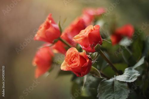 Fototapety, obrazy : Bukiet Róż