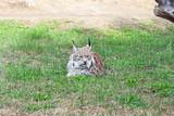 Lynx on the zoo.