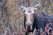Moose in the forest with snow at Algonquin Provincial Park