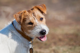 Happy jack russell pet dog puppy smiling to the camera