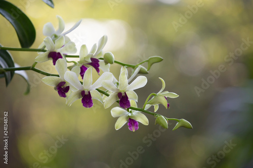 Orchid flower in nature with blurred background. - 241348762