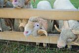 sheep at farm - 241355964