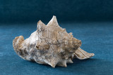 Old shell of a sea mollusk on a blue woven surface. - 241367569