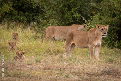 Two lionesses guard three cubs in line