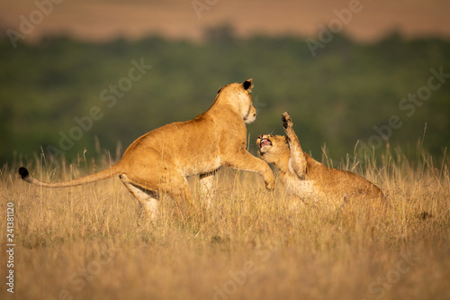 Two lionesses in long grass play fight