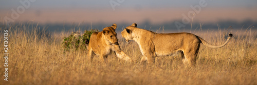 Two lionesses play fighting in long grass