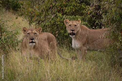Two lionesses stand in bushes facing camera