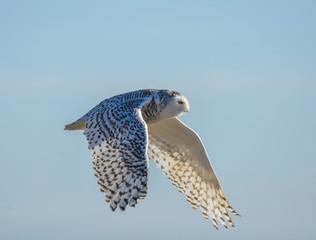 Snowy Owl - Westport, MA