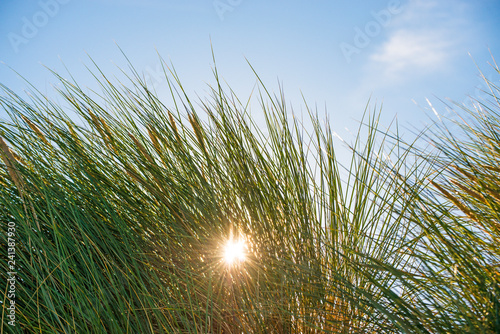 Leinwandbild Motiv European marram grass in back light with blue sky