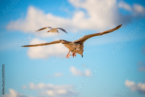 obraz PCV herring gull, young bird flying in a blue sky