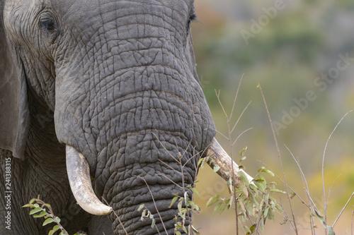Elephant (Loxodonta africana). South Africa