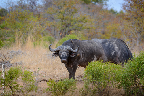 African buffalo or Cape buffalo (Syncerus caffer) herd drinking. South Africa