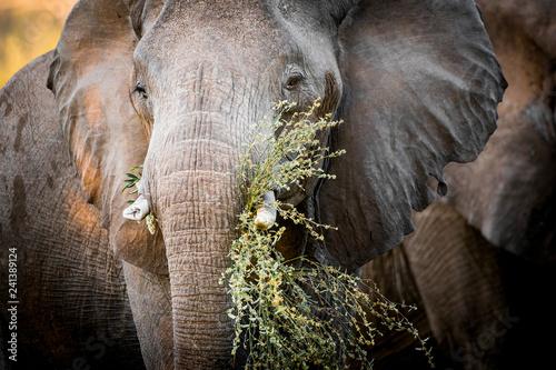 Elephant (Loxodonta africana) feeding. South Africa