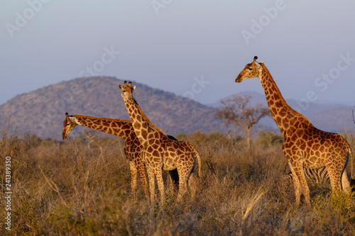 South African giraffe or Cape giraffe (Giraffa camelopardalis giraffa). South Africa