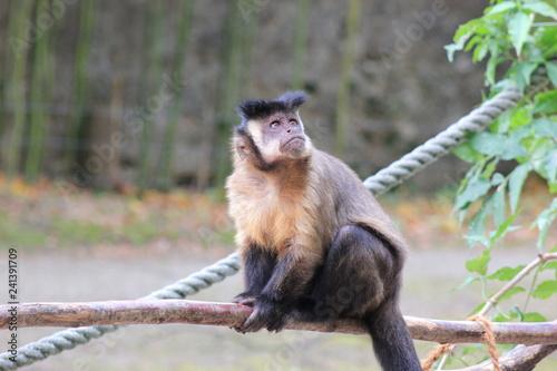 Obraz na płótnie Kapuzineraffe in einem Zoo
