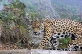 Jaguar in einem Zoo