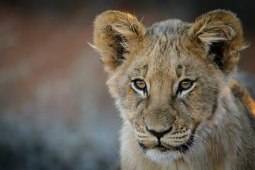 Lion (Panthera leo) cub. Kalahari, South Africa
