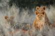 Leinwanddruck Bild - Lion (Panthera leo) cubs. Kalahari, South Africa